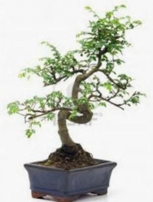 S gövde bonsai minyatür ağaç japon ağacı  Polatlı çiçek satışı