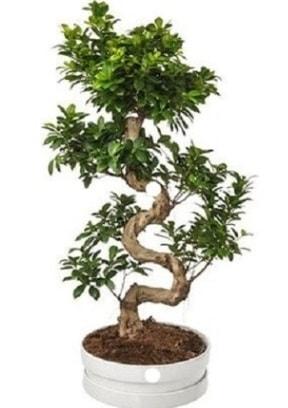 90 cm ile 100 cm civarı S peyzaj bonsai  Polatlı çiçek gönderme sitemiz güvenlidir