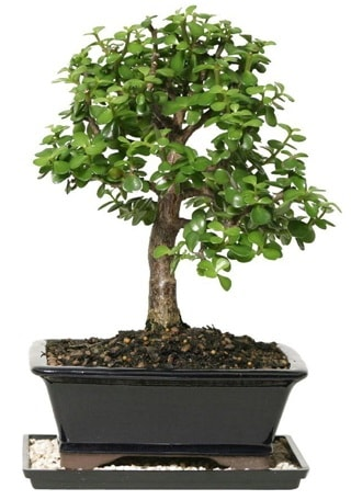 15 cm civarı Zerkova bonsai bitkisi çiçek siparişi sitesi