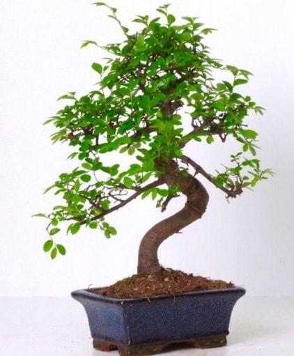S gövdeli bonsai minyatür ağaç japon ağacı  Polatlı çiçek gönderme sitemiz güvenlidir