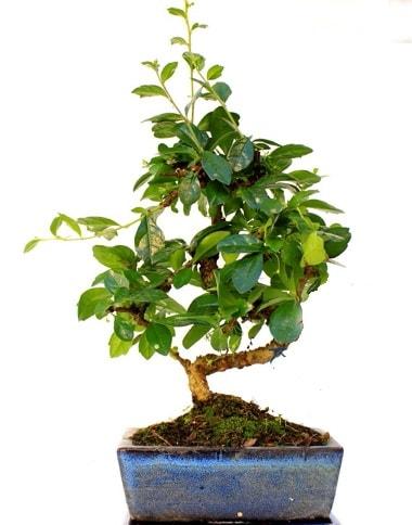 S gövdeli carmina bonsai ağacı  Ankara Polatlı çiçek yolla  Minyatür ağaç