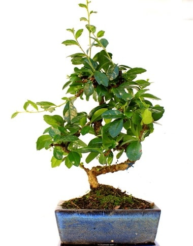 Bonsai Minyatür Ağaç Bonzai S Gövde  Polatlı internetten çiçek satışı