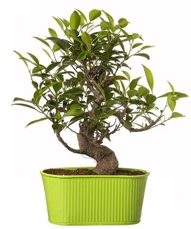 Ficus S gövdeli muhteşem bonsai çiçek siparişi sitesi