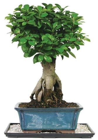 Bonsai Ginsing Grafted Ficus Bonsai  Ankara Polatlı çiçek yolla