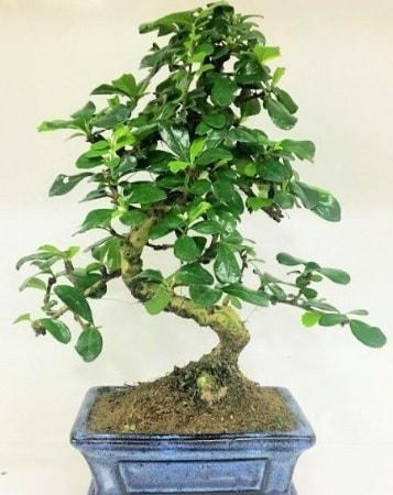 Zelkova S gövdeli Minyatür ağaç Bonzai  Polatlıda çiçek firması çiçek gönderme