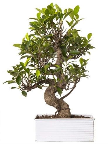 Exotic Green S Gövde 6 Year Ficus Bonsai  Polatlı çiçek gönderme sitemiz güvenlidir